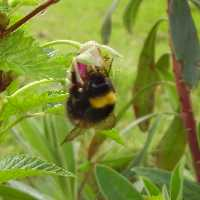 Bumblebees are common in West Cornwall